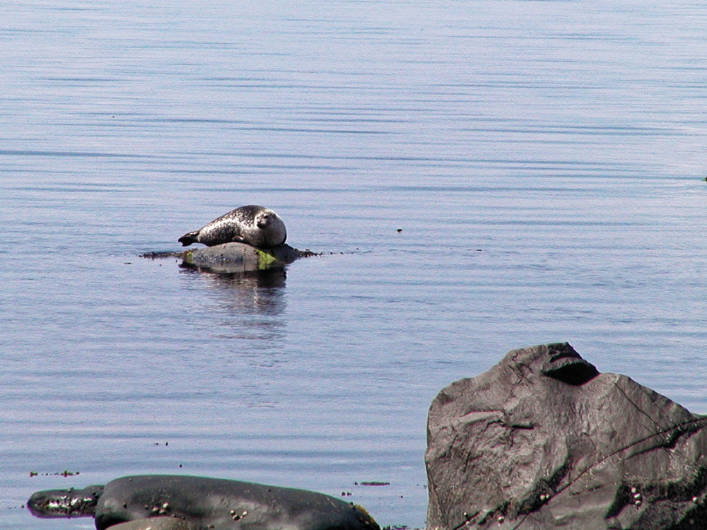 Seal basking in the Sound of Jura