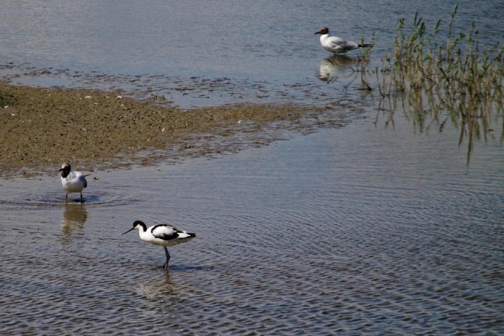 Avocet at Minsmere RSPB reserve