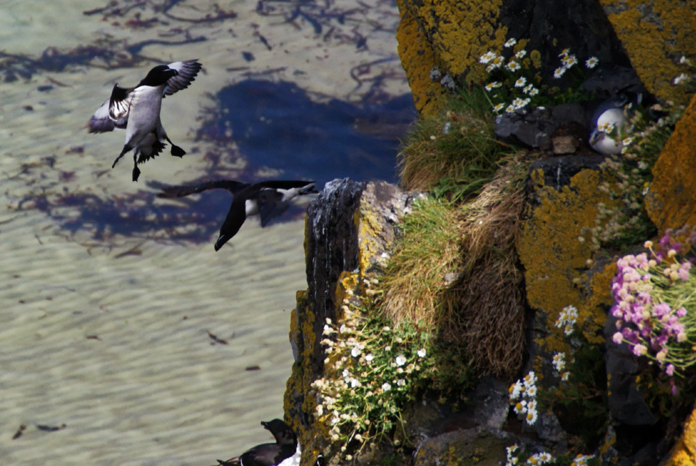 Seabirds on the cliffs by the Carrick-a-Rede bridge